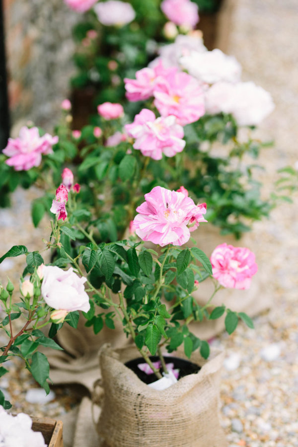 Pink roses planted in hessian sacks