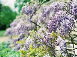 Beautiful purple wisteria captured by film wedding photographer Camilla Arnhold